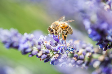 Photo Blinds Lavender Abeille sur lavande