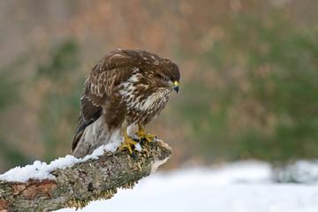 Common buzzard in winter