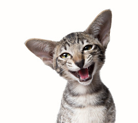 Funny smiling ugly meowing small kitten  Close up portrait isola