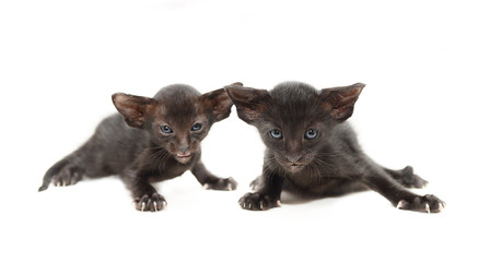 Two very small cute black chocolate oriental kitten isolated on