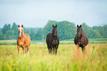 Wall Mural - Three beautiful horses standing on the field in summer