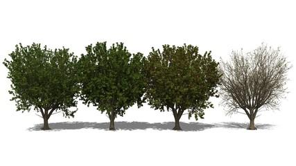 Katappenbaum (Terminalia catappa) Four Seasons
