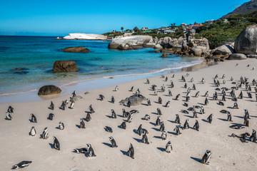 Pinguin in Boulders Beach near Cape Town