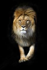 Fototapete - Lion in a shroud