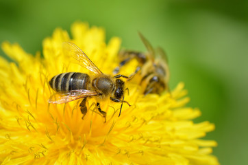 bees dandelion
