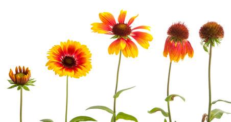 Entwicklung einer Kokardenblume