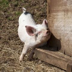 Scratching Piglet