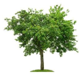 Alter Birnbaum mit vielen Früchten vor weißem Hintergrund