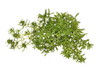 bunch of fresh savory isolated on white background .