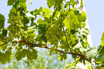 Fototapete - Young grape clusters in summer