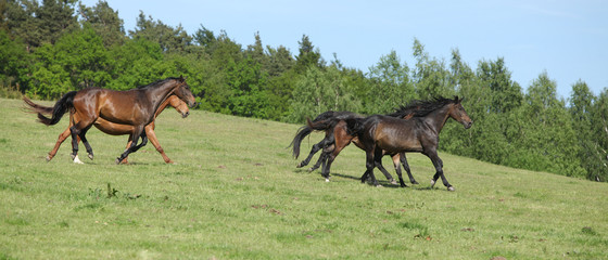 Fototapete - Brown horses running in group