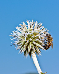 пчела на чертополохе