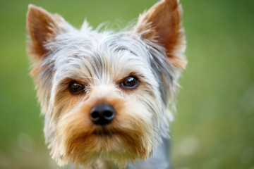 Cute small yorkshire terrier Wall mural