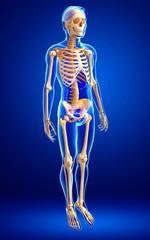 Human skeleton side view