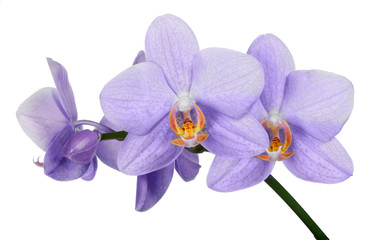 isolated fine light lilac orchid flower branch