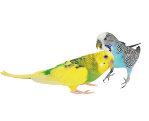 budgerigar isolated on white, (Melopsittacus undulatus), budgie