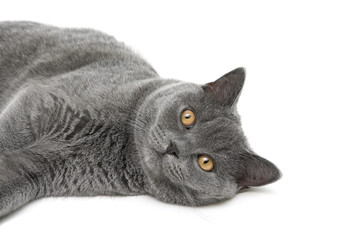 cat breed scottish-straight on a white background closeup