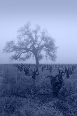 Blue Lodi Grapevines in Fog