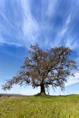 Lone California Oak Tree