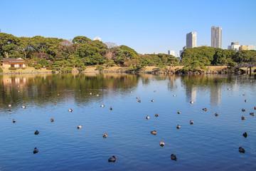 カモの群れ 東京