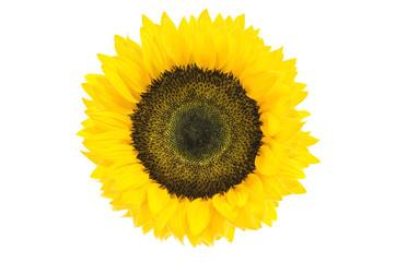 Large Beautiful Sunflower isolated on white