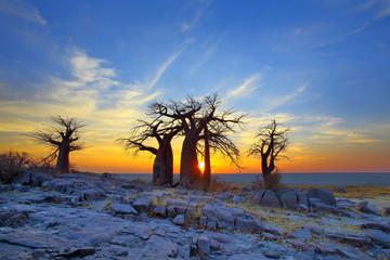 In de dag Baobab Baobabs on Kubu at Sunrise