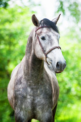 Portrait of beautiful grey horse