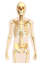 Human front view skeleton