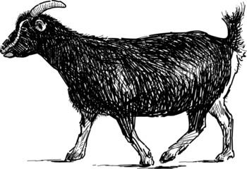 going goat
