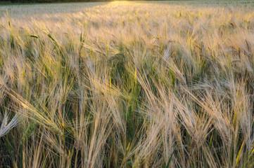 Wheat field lit by the setting sun
