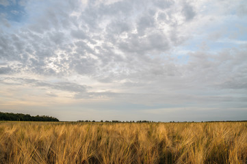 ield crops of wheat with the sky in the background