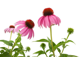 Fototapete - Purple Coneflowers