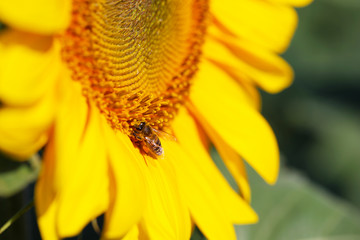 Beautiful sunflower close-up