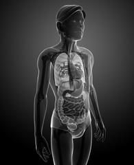 Xray digestive system of male body artwork
