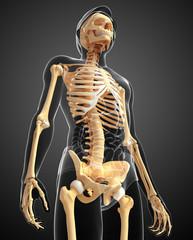 Male skeleton side view