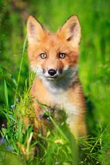 Fototapete - red fox pup