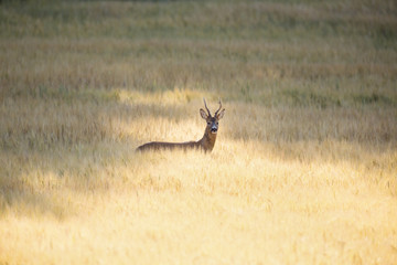 Wild roebuck in a field