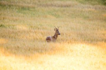Wild roebuck walking in a field