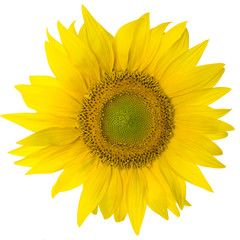 sunflower isolated on pure white background