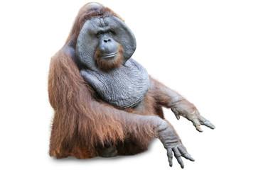 Orang utan sitting on white 2 Fotomurales