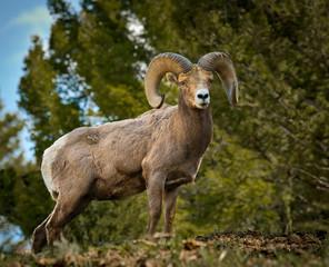 Proud Big Horn Ram from below