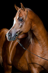 Arabian chestnut horse portrait on dark background