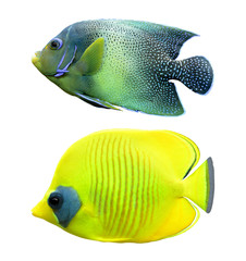 tropical reef fish