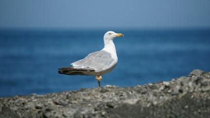 Черноморская чайка