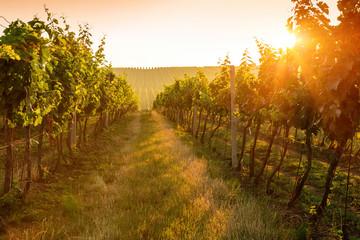 Garden Poster Vineyard Sunrise over a vineyard