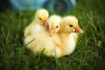 Little ducklings exploring the world