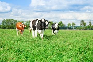Fototapete - Rinderherde auf der Weide