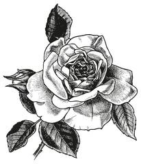 rose hand drawing