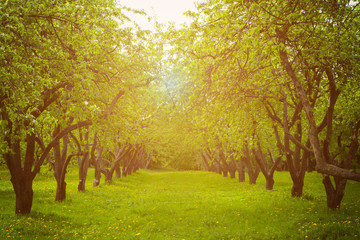 Apple trees alley.