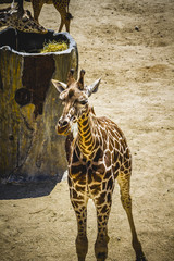 neck, beautiful giraffe in a zoo park